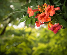 Campsis Radicans Flowers Isola...