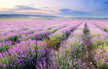 Fototapeta Wiejski Meadow of lavender.