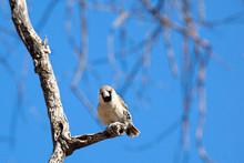 Uccellino Tessitore