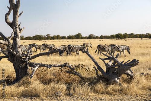 Staande foto Afrika Zebras in Namibia, Africa