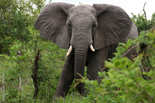 Photo  African elephant eats grass. South Africa. Слон африканский ест