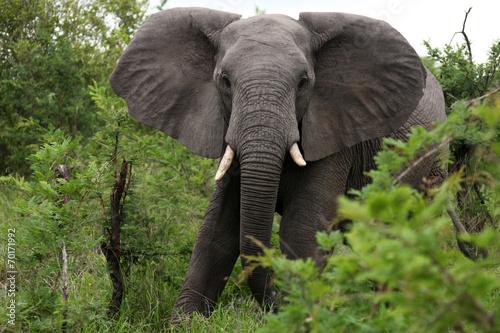 Foto op Aluminium Olifant African elephant eats grass. South Africa. Слон африканский ест