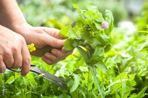 Gathering fresh herbs in the garden Fototapeta