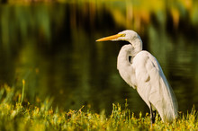 A Big Egret Land And Stares Ri...