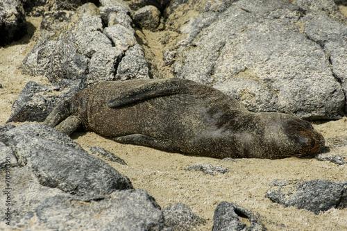 Fotografía  Otarie des Galapagos