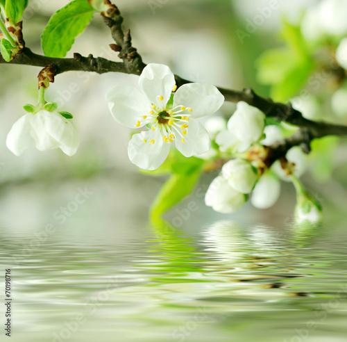 Fototapeta Wiśniowe kwiaty