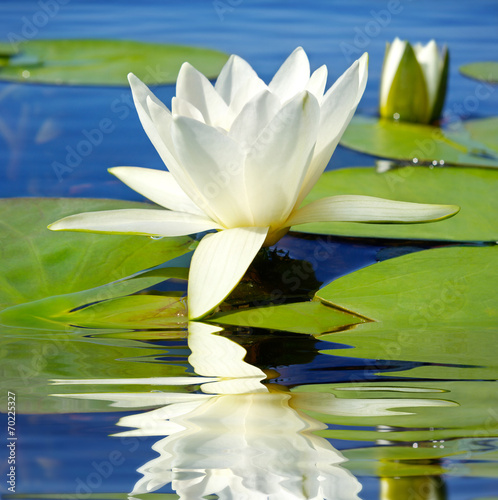 Papiers peints Nénuphars White lily blooming lake on the background of green leaves