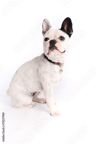 Papiers peints Bouledogue français isolated studio shot of french bulldog on white background