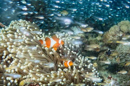 Foto op Aluminium Onder water Clown fish into anemone tentacles