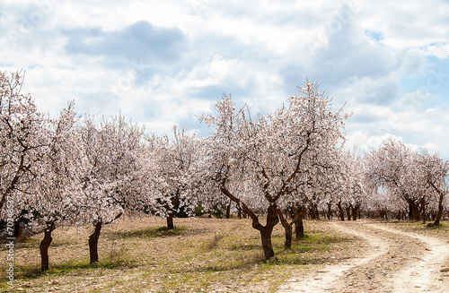Photo  Almond Tree Orchard