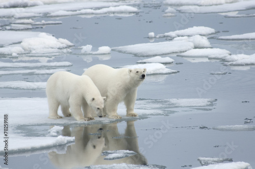 Tuinposter Ijsbeer Female Polar Bear with Yearling Cub