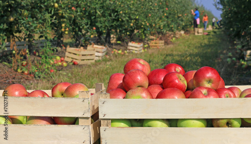 Cart full of apples after picking in orchard Fototapeta