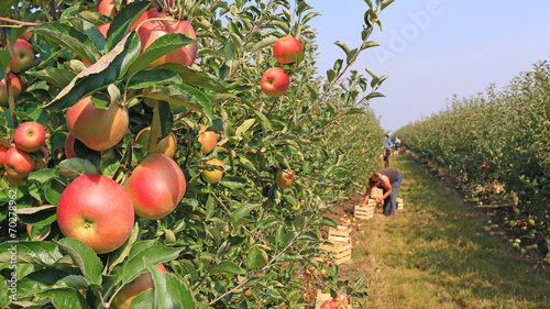 Foto Apple picking in orchard