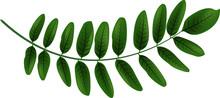 Feuilles Acacia Verte Illustration 2