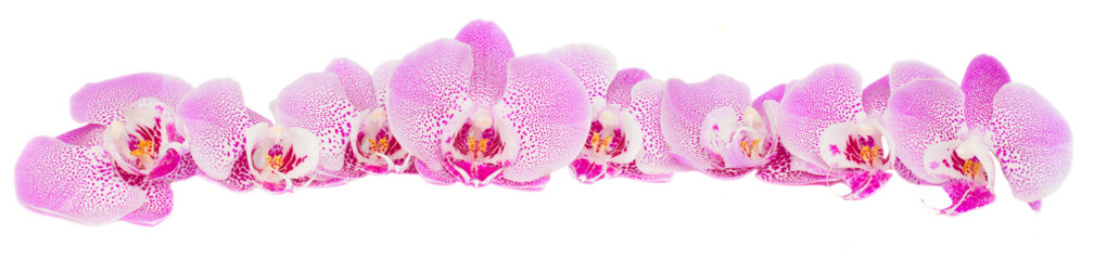 Fototapeta row of pink orchid flowers