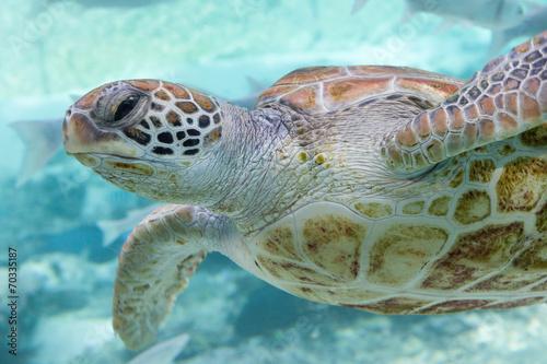 Canvas Prints Under water Green turtle (Chelonia mydas) swimming