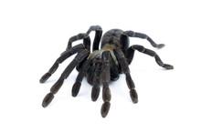 Black Curly-hair Tarantula Brachypelma Albopilosum Isolated