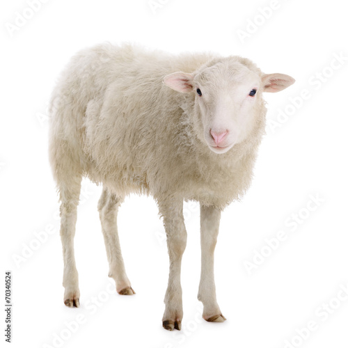 Foto op Canvas Schapen sheep isolated on white
