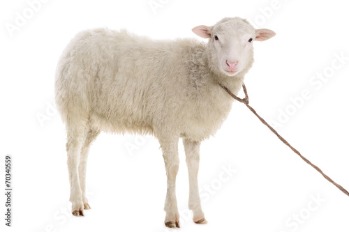 Photo sur Aluminium Sheep sheep isolated on white