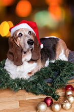 Basset Hound At Christmas