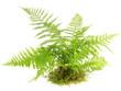 canvas print picture - Farn Pflanze isoliert auf weiß