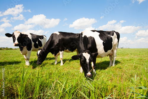 Ingelijste posters Koe Dutch cows