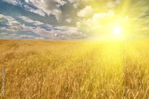 Foto op Plexiglas Platteland golden field with wheat under bright sun