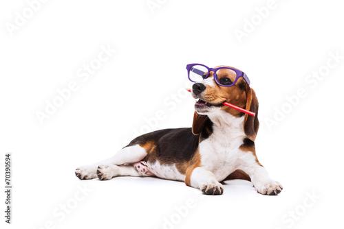 Fototapeta  Funny Beagle in glasses with pencil