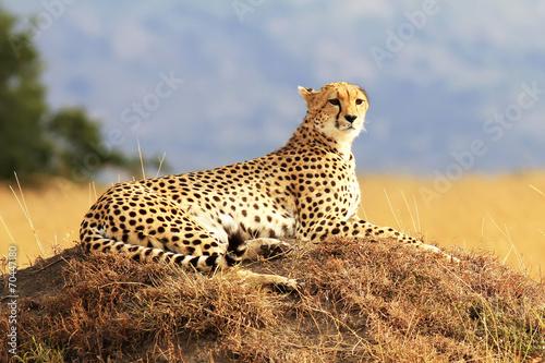 Staande foto Afrika Cheetah on the Masai Mara in Africa