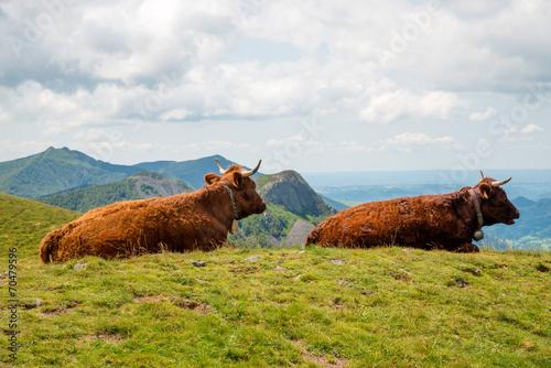 Poster de jardin Vache vaches de salers