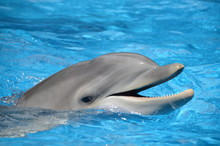 Bottlenose Dolphin With Mouth ...
