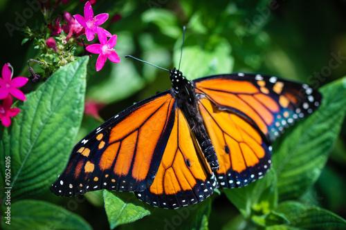 Photo  Monarch Danaus Plexippus