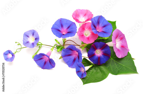 Fotografie, Tablou  Blue and pink Morning Glory with leaf