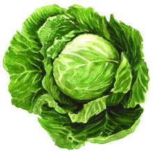 Watercolor Cabbage Isolated On White