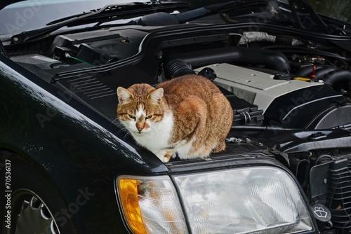 Fotografie, Obraz  Katze auf einem Auto / Kater im Motorraum