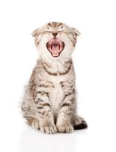 Yawning Scottish Kitten Sittin...