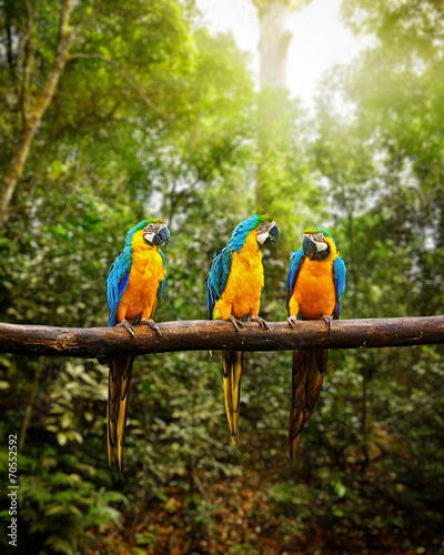 Blue-and-Yellow Macaw Ara ararauna in forest #70552592