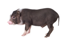 Pig Isolated On A White Background. ( Pot-bellied Pig )