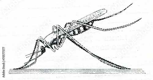 Photo Resting positions of Anopheles mosquito