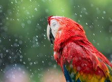Red Macaw Parrot Sleeping In The Rain.