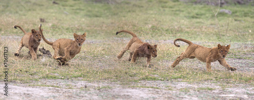 Wild lion cubs playing