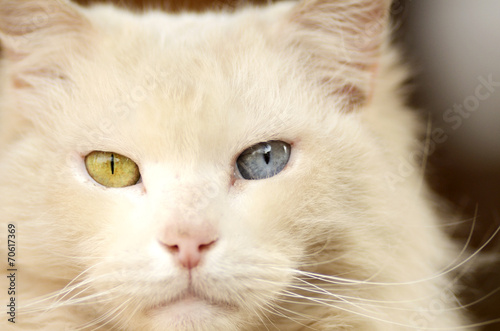Fotografie, Obraz  White Cat with green and blue eyes