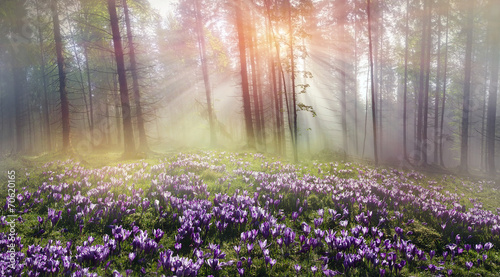 Photo sur Aluminium Crocus Magic Carpathian forest at dawn