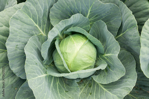 Fotografía  close-up of fresh cabbage vegetable in field background
