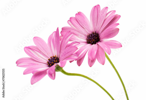 Foto op Canvas Madeliefjes Osteospermum Daisy or Cape Daisy Flower Flower Isolated