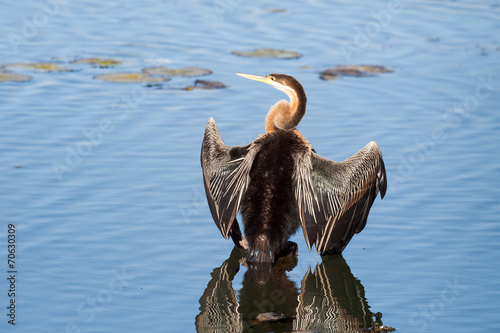 Fotografie, Obraz  A wild African Darter bird drying on a stump in a lake