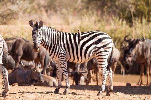 Papiers peints Hyène A wild Burchells Zebra standing amongst a herd of wildebeest