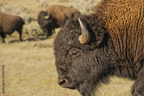 Foto op Canvas Bison Buffalo Bison in Lamar Valley Yellowstone