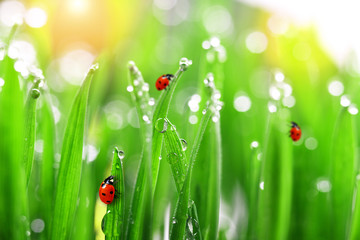 Plakat fresh green grass with water drops and ladybugs