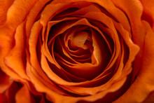 Romantic Orange Rose